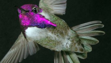 Hummingbirds 'sing' with their tail feathers to impress the females